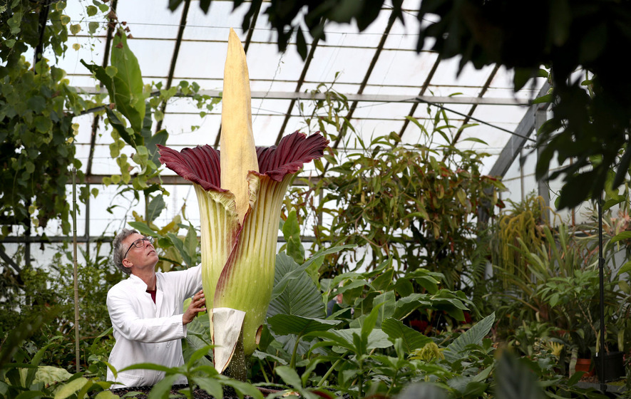 'Corpse flower' likely to die days after blooming