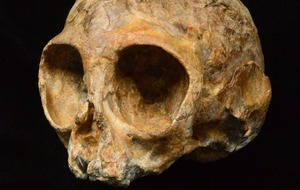Thirteen million-year-old primate fossil skull sheds new light on human origins