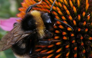 Controversial pesticide 'could have a devastating effect' on bumblebee populations