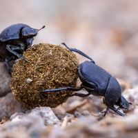 This inspiring Twitter thread will make you think twice about insulting the humble dung beetle