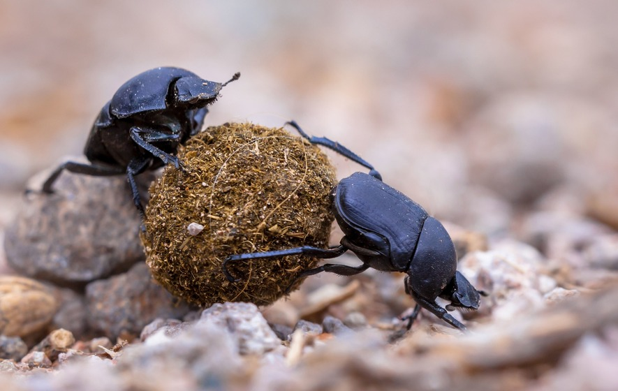 Science Journalist Jennifer Harrison Makes A Compelling Case For Why This Tiny Brained Scarab Beetle Is Worthy Of Your Respect