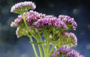 The Casual Gardener: Sedum sensations