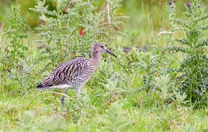 Curlews fledge in Co Antrim for the first time in 20 years