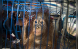 Caged baby Orangutans rescued from illegal sale by UK charity