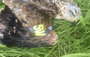Police appeal after endangered young red kite shot dead in Co Down