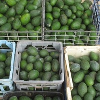 An Australian man has been arrested for possession of hundreds of avocados
