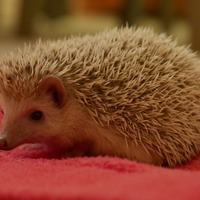 African pygmy hedgehogs are not pets, says RSPCA
