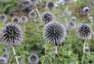 The Casual Gardener: Thistles with global appeal