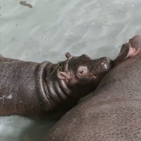 Meet the baby hippo with a Game Of Thrones-inspired name
