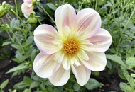 Gardening: Top tips for growing dahlias in pots this autumn