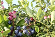Gardening: Save a fortune and grow your own blueberries