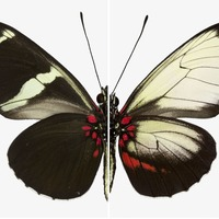 Scientists use gene editing to change butterfly wing patterns