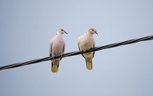 Take on Nature: The collared dove carries an olive branch from afar