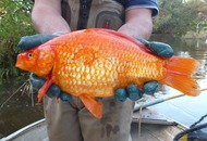 An 'alarming' discovery has been made about Australia's monster goldfish
