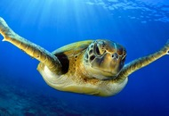 Sea turtles are coming back from the brink of extinction following extensive conservation efforts