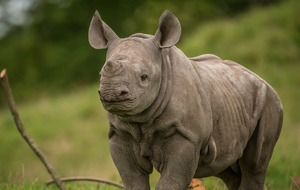 Check out this needy baby rhinoceros ahead of World Rhino Day