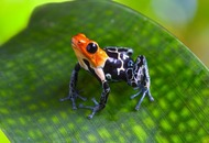 Scientists have worked out how deadly toxic frogs don't poison themselves