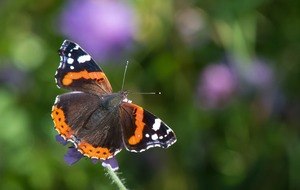 Red admirals enjoyed record summer, results from the Big Butterfly Count reveal