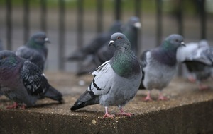 Apparently, pigeons are better at multitasking than you