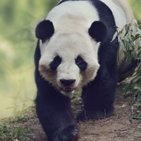 Livestock is damaging giant panda habitat in China on a massive scale