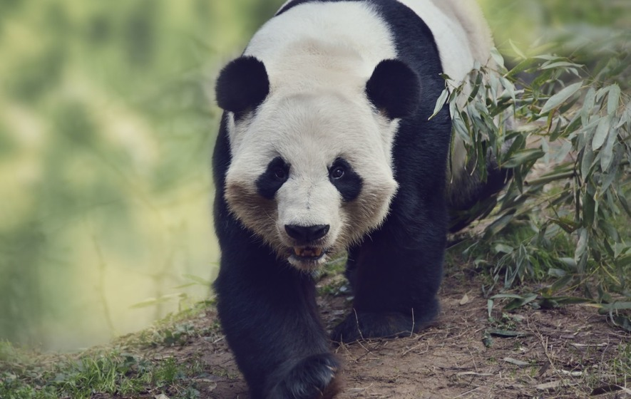 Park Place Motors >> Livestock is damaging giant panda habitat in China on a ...