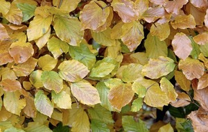 The Casual Gardener: Beech has one the most beguiling golden displays of autumn