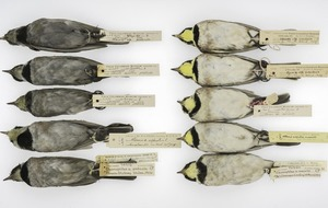 How century-old, soot-covered birds are shedding light on historical urban pollution