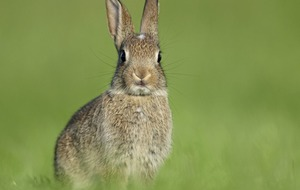 Take on Nature: The common rabbit is Ireland's resilient intruder
