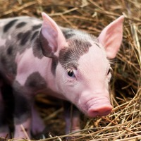 Scientists have created genetically modified pigs with 24% less fat