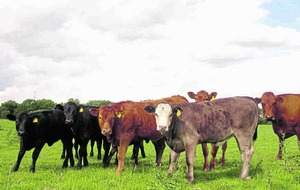 Farmers urged to be wary of bluetongue virus in cattle