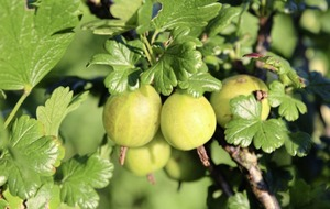 Making Tarts, crumbles and jams? Why not grow your own gooseberries?