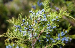 The Casual Gardener: Juniper is the perfect tonic
