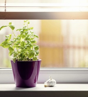 Gardening advice: How to make the best of supermarket-bought basil plants
