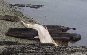 Islanders hope tide will remove body of huge whale  from Donegal beach