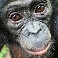 Bonobos go out of their way to help strangers without being asked, research shows
