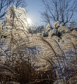 The Casual Gardener: Ornamental grasses are great for winter