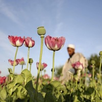 Opium production in Afghanistan almost doubled this year compared to 2016