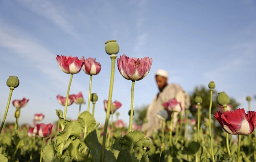 2017 a Record Year for Opium Poppy Cultivation in Afghanistan
