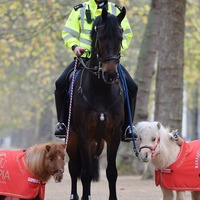 You need to see these tiny ponies helping their much larger friends police London