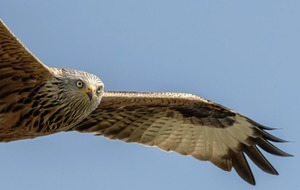 New project launched to protect Red Kites in Northern Ireland