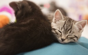 Argos will broadcast kittens on its website to soothe stressed Black Friday shoppers