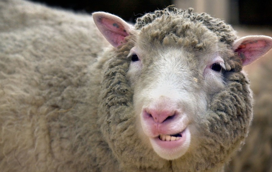 Scientists find no evidence of arthritis in dolly the sheep dolly was believed to have had early onset osteoarthritis on the left knee sciox Images
