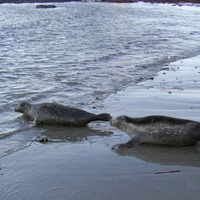 Rescued seals released off Antrim coast to begin new life