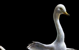 Dino-swan with 'killer claws' was at home in the water, study shows