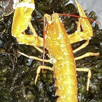 One in 30 million lobster caught off the north coast