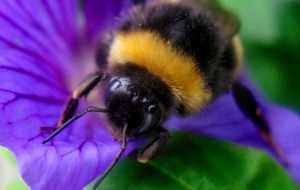 Bumblebees are able to solve a classic maths problem when they feed, study finds
