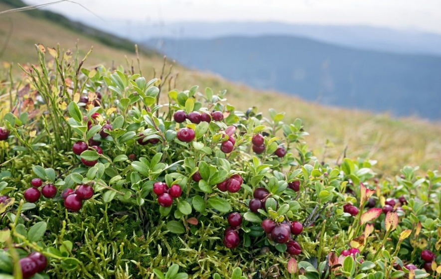 Image result for wild cranberry pictures