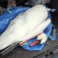 Swan killed in 'vile' crossbow attack