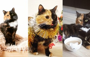 This beautiful two-toned cat is getting ready for Christmas