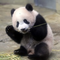This panda's first public appearance was just delightful